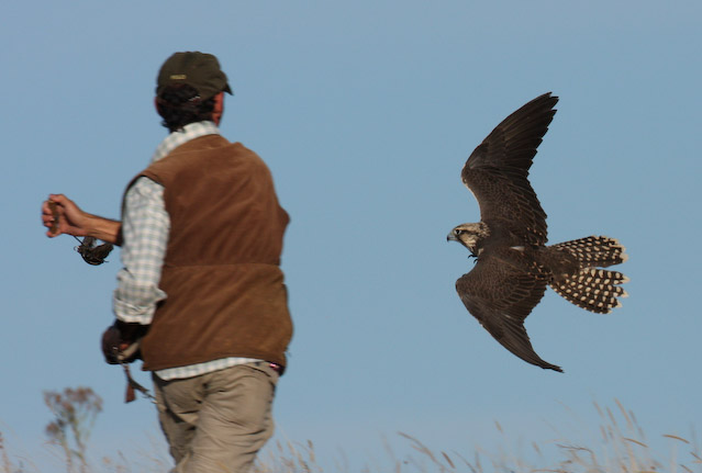 Saker Falcons